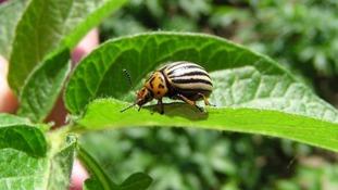 Colarado Beetle