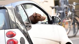 GSPCA warns against leaving pets in cars