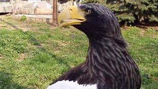Missing sea eagle returns to Warwick Castle