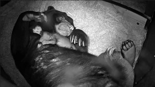 WATCH: Here comes the sun - tiny sun bear is born at Chester Zoo