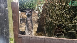 Pet emu rescued from small back garden after being bought online