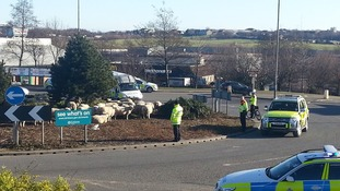 Roundabout sheep! Would ewe believe it?