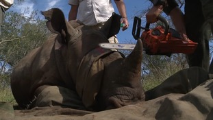 Cutting off a rhino's horn