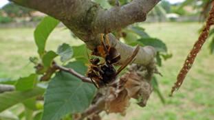 An Asian hornet attacking a honeybee.