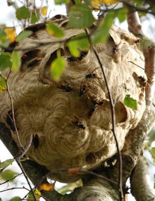 An Asian hornet's nest in a private garden.