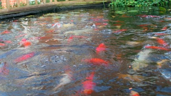 Fish in the Brown's pond