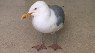 Plea to help more than a dozen 'drunk' gulls along south coast