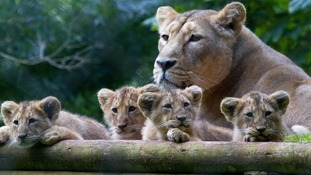 Zoo forced to put down lion who contracted TB