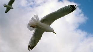 RSPCA responding to 'drunk' seagull concerns in Somerset
