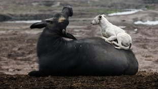 A dog rests on a buffalo near Ravi River in Lahore