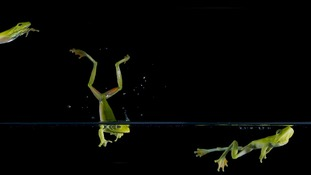 Two species of tree frogs jumping through water in southern Brazil. The animals jump to escape predators and catch their prey.