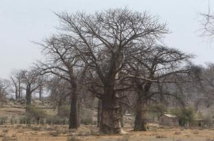Baobab trees in a field in Chimanimani, Zimbabwe