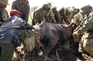 Black rhino being transported