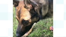 Stabbed police dog back on the beat aids in five arrests