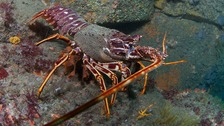 Sark leads crawfish conservation