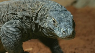 Komodo dragons can grow up to 10 feet long and have a venomous bite
