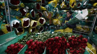 A worker in a rose export factory in Columbia.