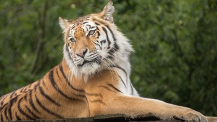 One of the tigers at Knowsley Safari