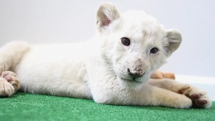 Rare seven-week-old white lion cub makes debut at Texas zoo
