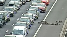 Group of ducks waddles its way onto the M25 delaying traffic