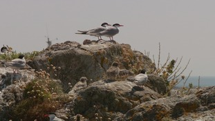 Terns nest on Les Ecrehous