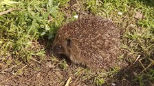Hedgehogs need help in hot weather