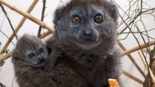 Rare lemur baby raises spirits after 'tragic' fire at wildlife park