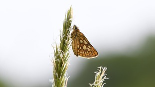 Chequered skipper butterflies are being reintroduced to the UK after the species disappeared in 1976.