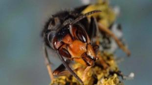 Asian Hornet nest found in Longfrie