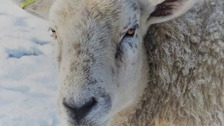 Investigation underway after sheep found shot dead at family farm