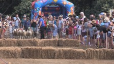 More than 1,000 visitors and islanders in Sark for sheep racing