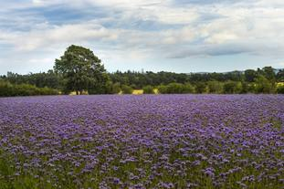 Flowery field in Haddington
