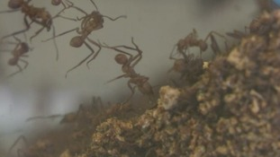 Researchers are studying leafcutter ants to help find new antibiotics