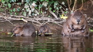 Beavers back after 400 years