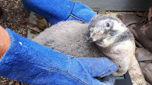 First baby penguin born on Isle of Man for 8 years