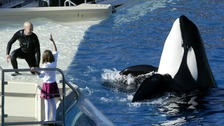 The plight of killer whales at resorts such as Seaworld has been the focus of many animal rights groups for at least the past decade.