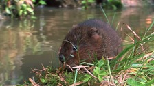 The water vole population at Thorley Wash is thriving.