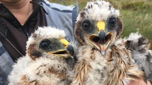 England has seen its most successful hen harrier breeding season for a decade, with 34 chicks fledging