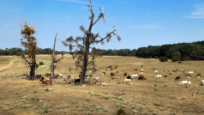 Meadows are dried out from drought as cows stand on a pasture in the Elbe meadows near Schoenebeck, Germany.