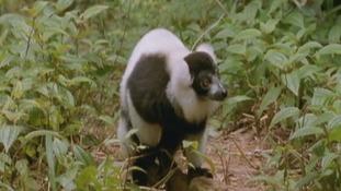 Durrell working to help prevent lemur extinction