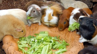 Rise in number of rabbits and guinea pigs being abandoned in Guernsey