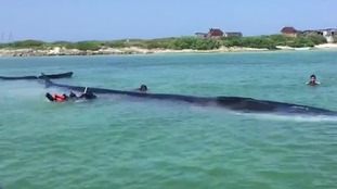 Watch: Huge fin whale rescued from beach in Mexico