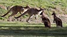 Kangaroos have been competing with livestock for pasture in the drought.