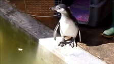 Squidge the penguin chick