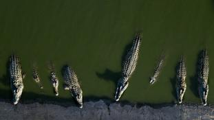 Israeli settlement on West Bank desperate to get rid of crocodiles no-one wants