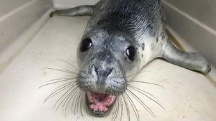 Aye-Aye the seal