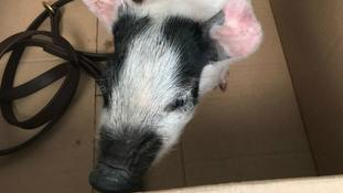 Man arrested after being found with 'untethered' pig in Norwich city centre