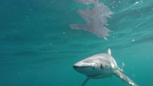 The blue sharks were swimming off the coast of Plymouth
