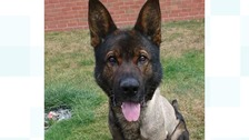 Derbyshire Police's PD Axle is back on duty.