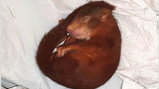 German police come to rescue of man being chased by baby squirrel